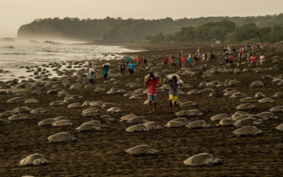 Check Out: National Geographic – Sea Turtles are surviving – despite us